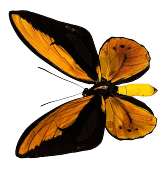 The color butterfly, isolated on white. ornithoptera croesus lidius.