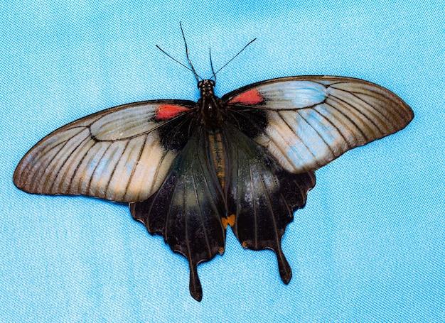 Цветная бабочка, на синем фоне, вид сверху. папилио хелен.