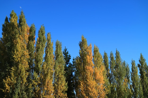 The color changing of pine trees against vivid blue sky, autumn in el calafate, patagonia, argentina