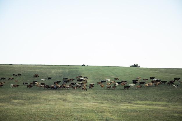 목초지에서 방목하는 색상 소