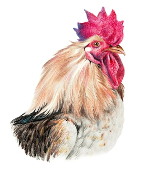 Color drawing with watercolor pencils. head of rooster in profile on a white background.