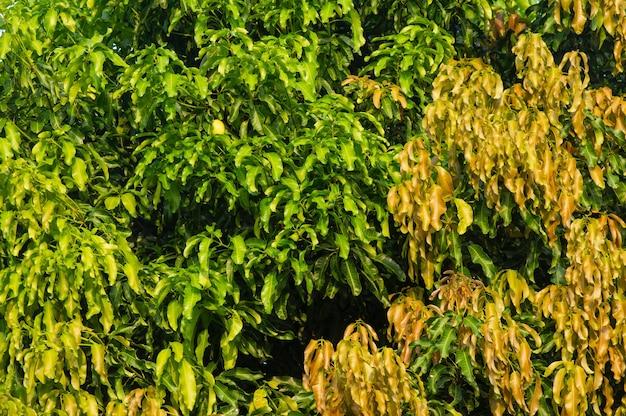 Цветовая градация листьев манго для естественного фона