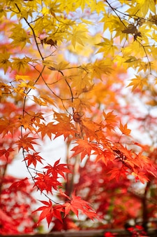 Color of maple leaves in autumn.
