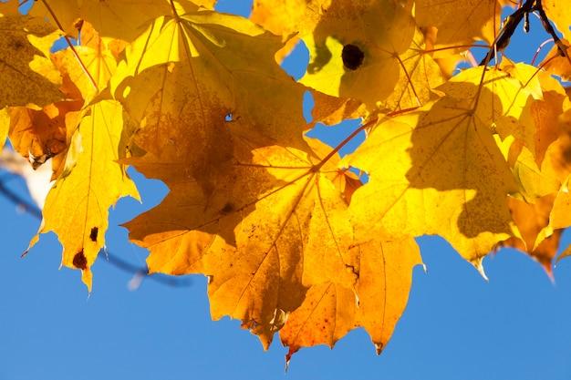 秋の枝に色カエデの葉