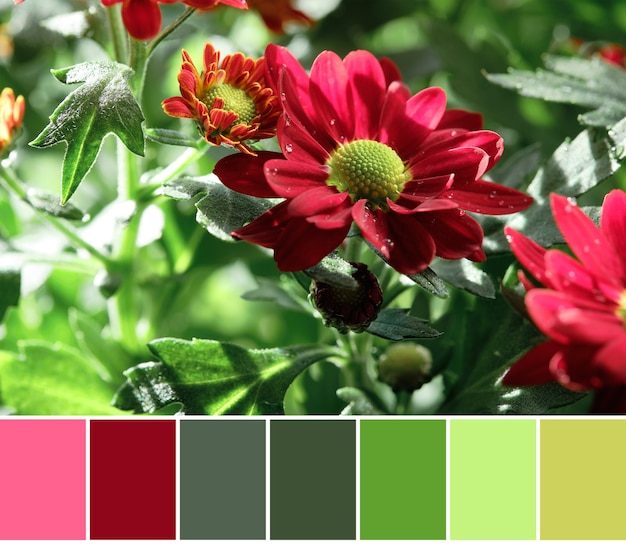 Color matching palette from close-up of dark red chrysantemum flowers on a green bush