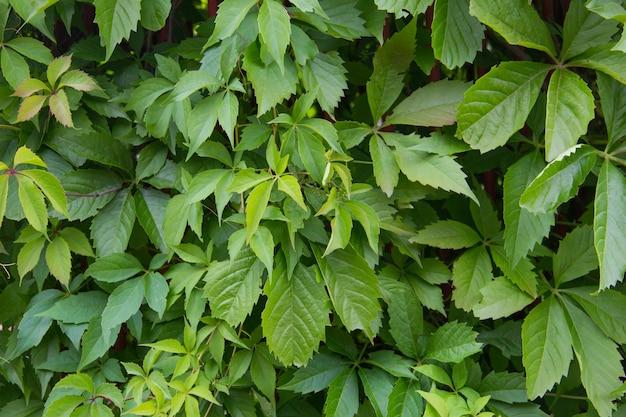 거짓 헤더 식물의 색 녹색 잎의 배경 녹색 울타리 녹색 잎의 배경