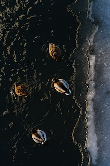 Color photography of ducks walking on snow and their shadows from the top view