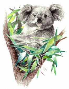 Цветной эскиз - медведь коала на дереве. на белом фоне. детальный рисунок карандашом