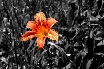 Color summer sun lily tiger orange