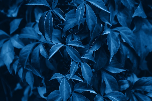 Color of the year 2020 - classic blue. virginia creeper leaves background
