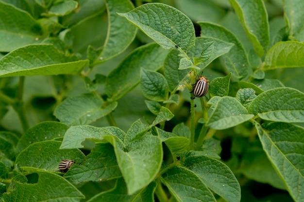 Колорадский жук ест листья картофеля.