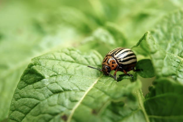Colorado beetle eats a potato leaves young.