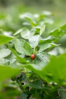Colorado beetle larva close-up on foliage of potato in nature.