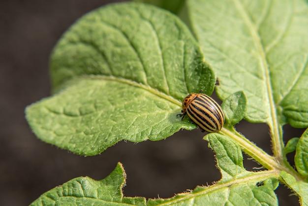 Colorado beetle on leaves