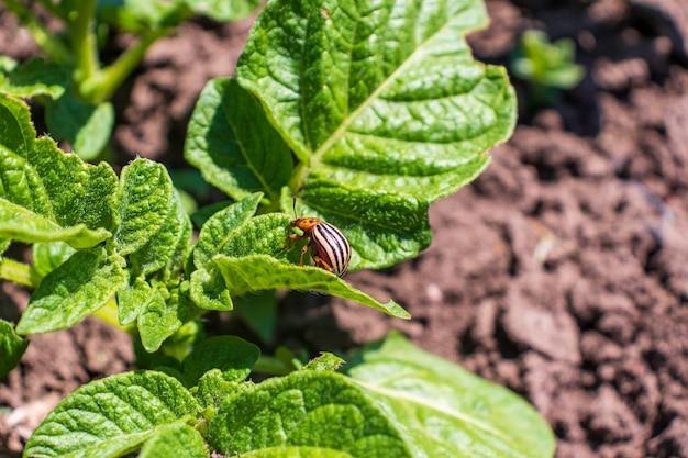 감자 잎에 콜로라도 딱정벌레