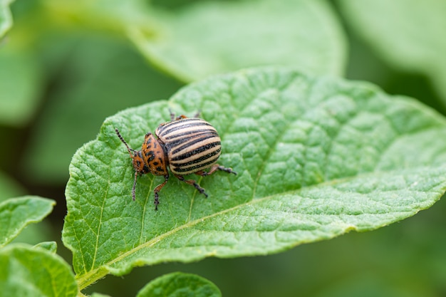 Colorado beetle or potato bug on green potato plant leaf