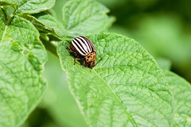 Колорадский жук сидит на молодой зеленой листве картофеля