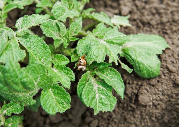 Колорадские жуки на зеленых листьях картофеля.