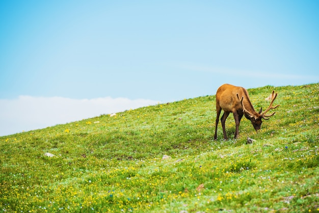 Colorado elk alpine meadow