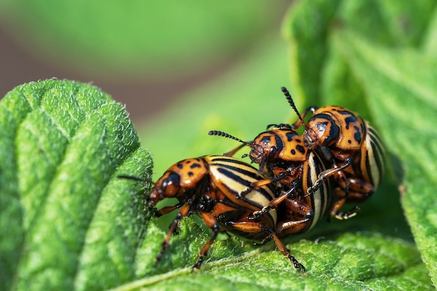 Колорадский жук поедает листья картофеля. сельскохозяйственные насекомые-вредители.