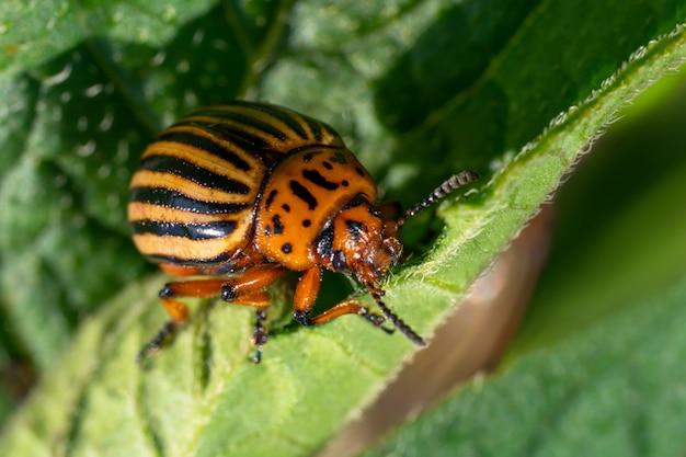 Колорадский жук питается листьями картофеля. сельскохозяйственные насекомые-вредители.