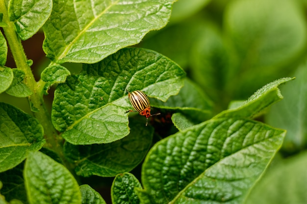 Colorado potato beetle eats potato leaves