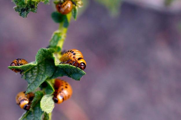 Личинки колорадского жука едят листья молодого картофеля