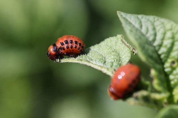 Colorado potato beetle larvae eat potato foliage dangerous potato pest concept