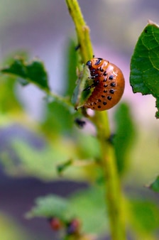Colorado potato beetle larvae eats leaf of potato