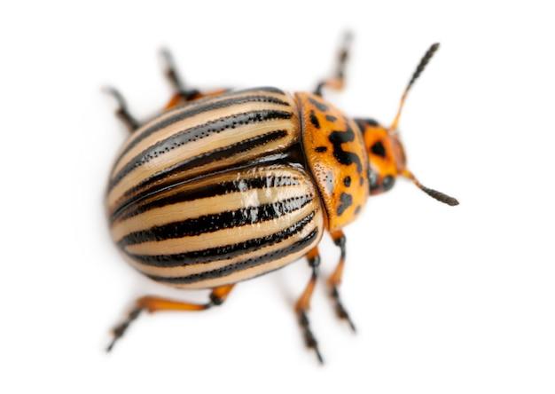 Колорадский жук - leptinotarsa decemlineata /// также известный как колорадский жук, копья с десятью полосами, картофельный жук с десятью полосами или картофельный жук