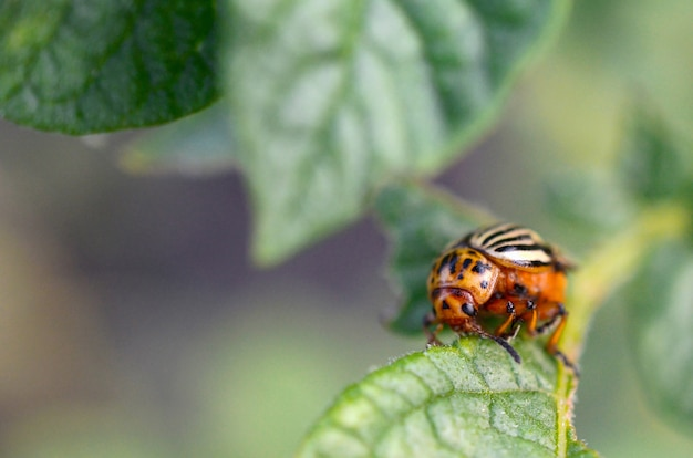 Colorado potato beetle leptinotarsa decemlineata crawling on potato leaves
