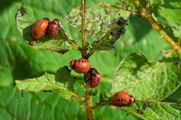 콜로라도 감자 딱정벌레 leptinotarsa decemlineata 감자와 토마토의 해충