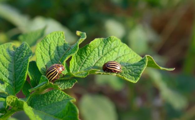コロラドハムシは若いジャガイモの葉の上に座っています