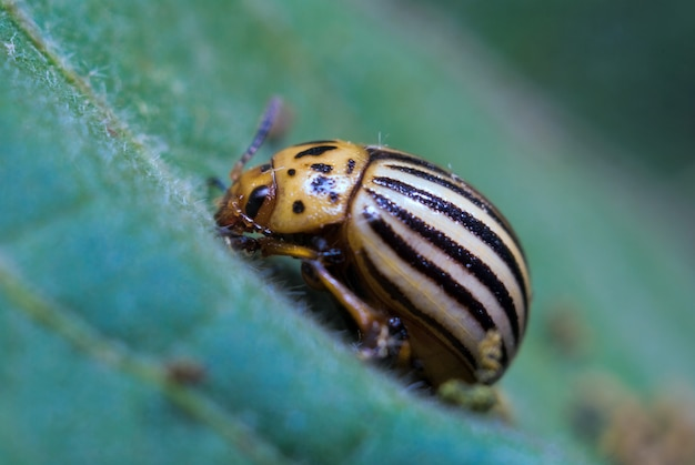 Colorado potato beetle sits on a leaf, close-up, macro photo