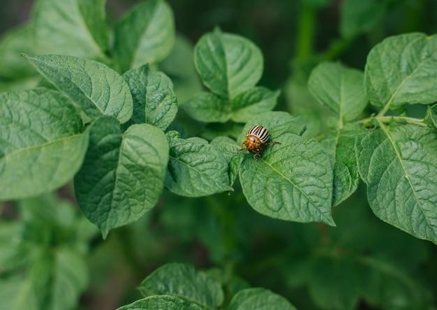 Колорадский жук сидит на листьях картофеля.