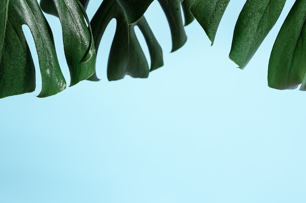 Colored background with natural leaf of tropical plant monstera.