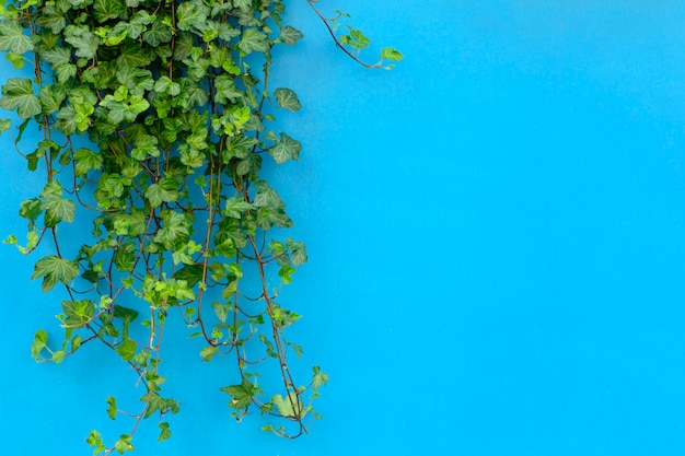Colored background with a tropical jungle plant. blue background with green ivy in the sunlight. copy space