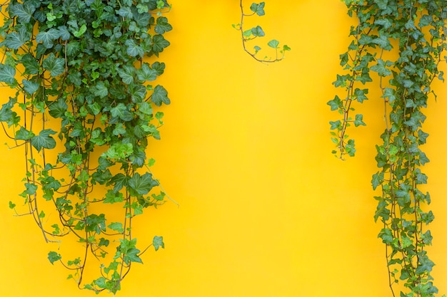 Colored background with a tropical jungle plant. yellow background with green ivy in the sunlight. copy space