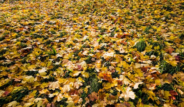 Colored beautiful foliage maple lying on the dark green grass in the forest.