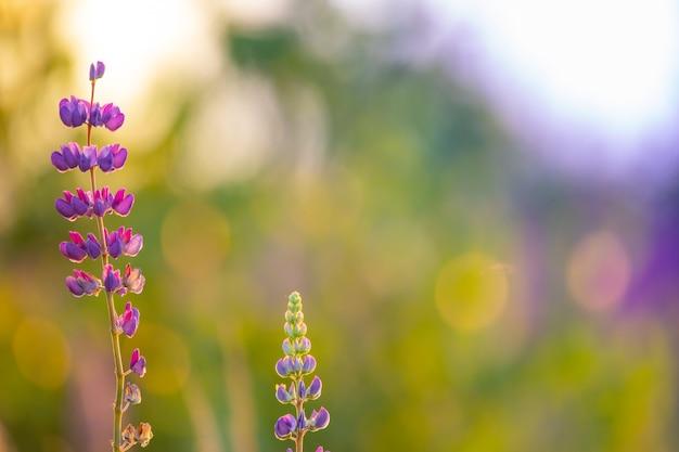 色付きの明るい花、焦点がぼけた背景のルピナス