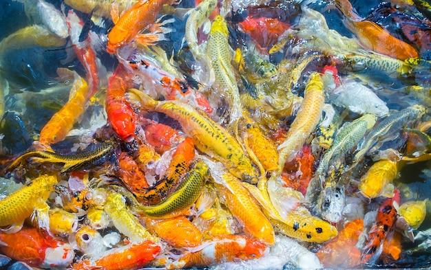 Цветной рыбный вид сверху, пруд в парке, необыкновенная дерьмовая поверхность рыбы на воде