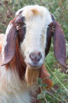Цветная домашняя коза гуляет в одиночестве на природе. портрет длинноволосой козы.