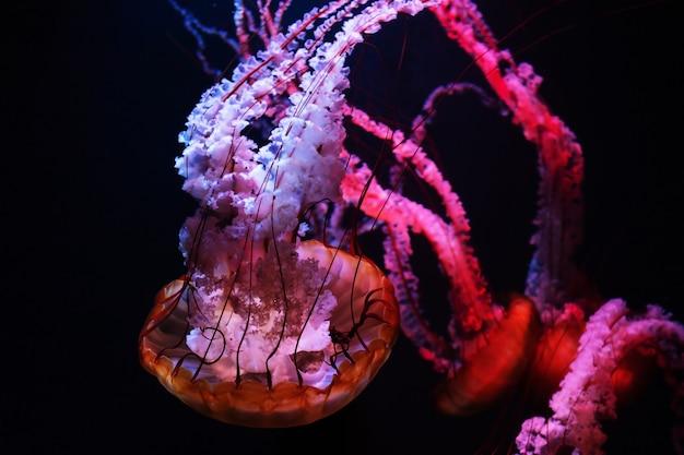 Цветные медузы в темной воде.