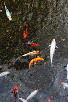 연못에 색된 잉어