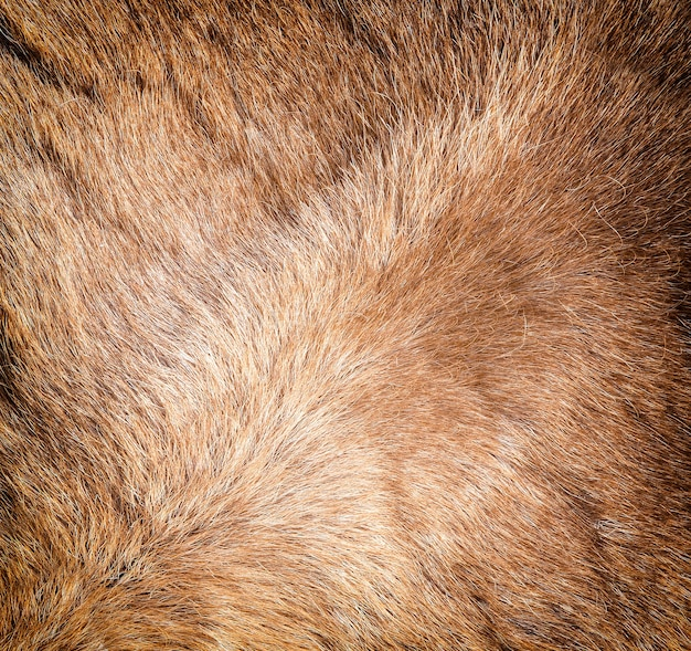 The colored reindeer fur texture. close up