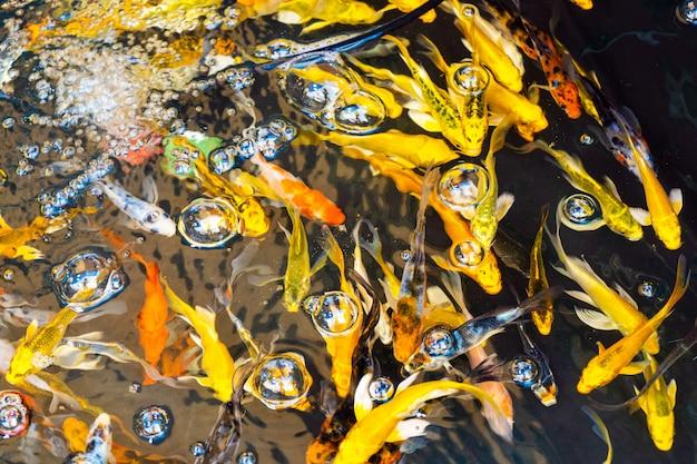 Цветные тропические рыбы в декоративном пруду. оранжевые декоративные рыбы на синей стене. стая декоративных рыб