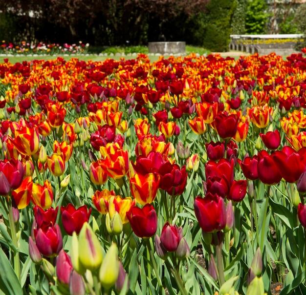 Colored tulip