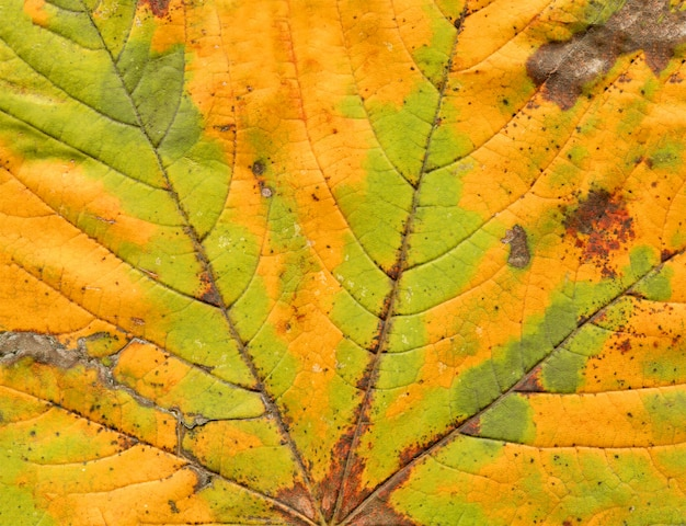 Colorful abstract autumnal leaf  texture