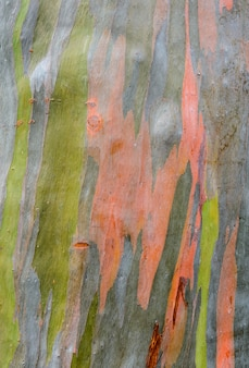 Colorful abstract pattern of eucalyptus deglupta tree bark