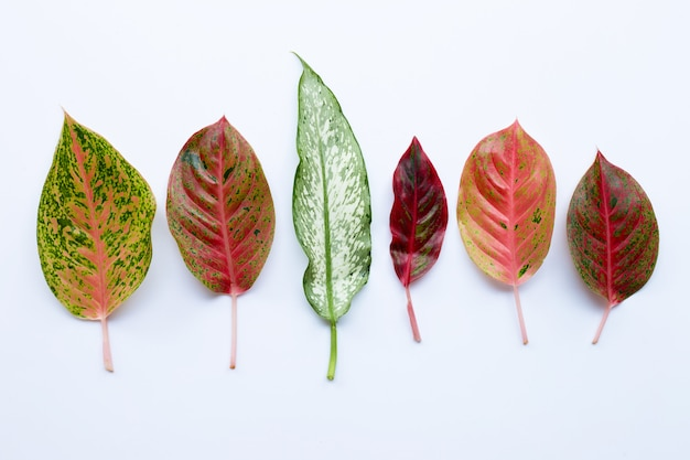 Colorful aglaonema leaves isolated on white